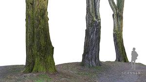 3d acacia tree