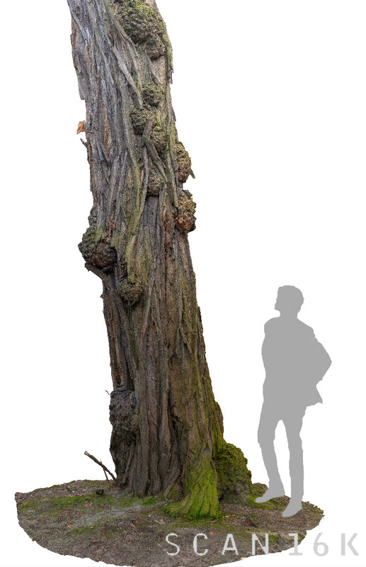 maya acacia tree