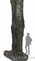 Acacia tree 2