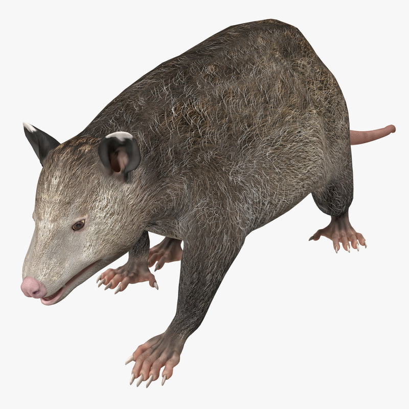 possum pose 1 3d model