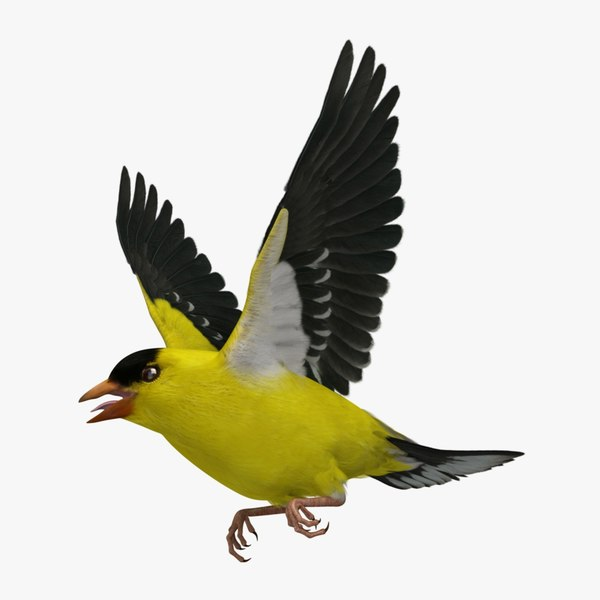 spinus tristis american goldfinch 3d ma