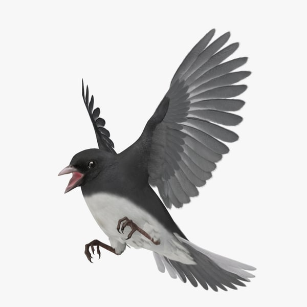 junco hyemalis dark-eyed eye 3d obj