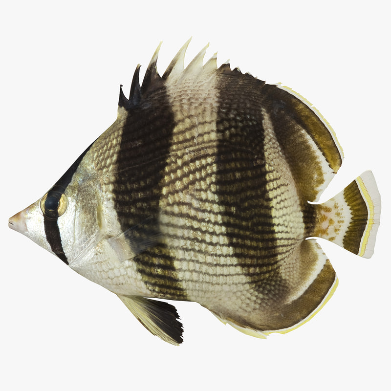 3d banded butterflyfish model
