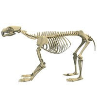 Bear Skeleton 3D Model