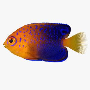 interuptus dwarf angelfish 3d model