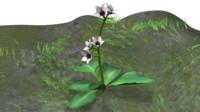 saxifraga plants saxifrages 3d obj