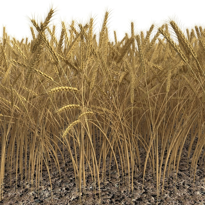 wheat field max