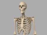 max human skeletal