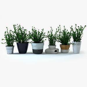 3d oregano herbs plant model