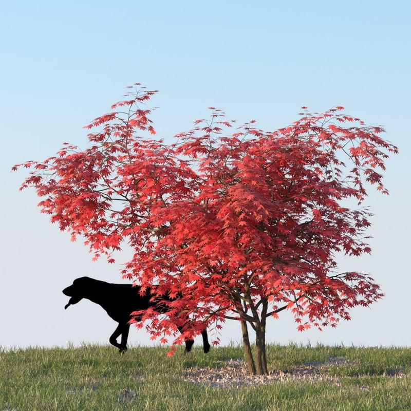 3d japanese maple
