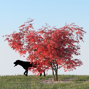 3d japanese maple