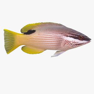 max saddleback hogfish