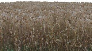 corn field max