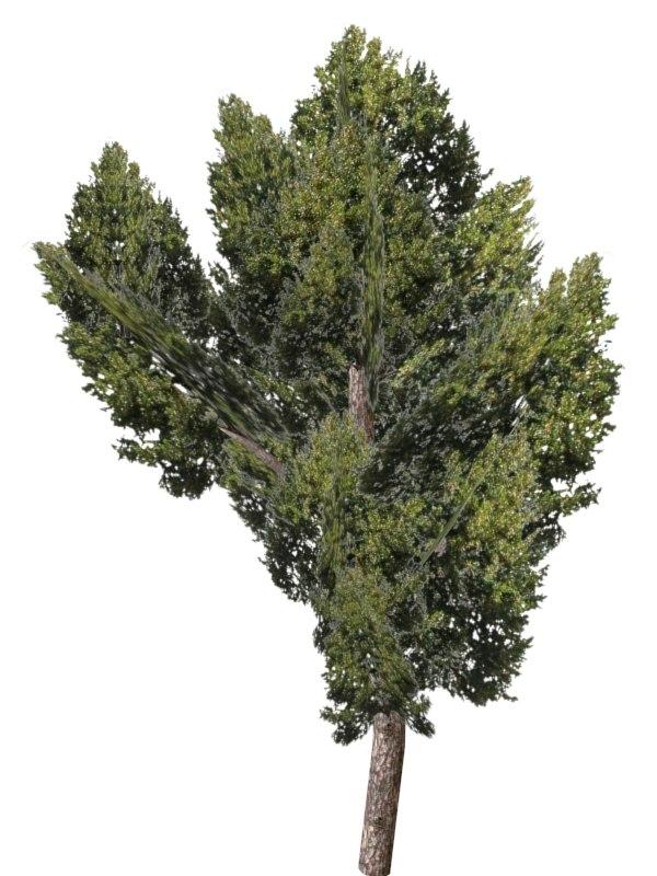 black poplar 3d max