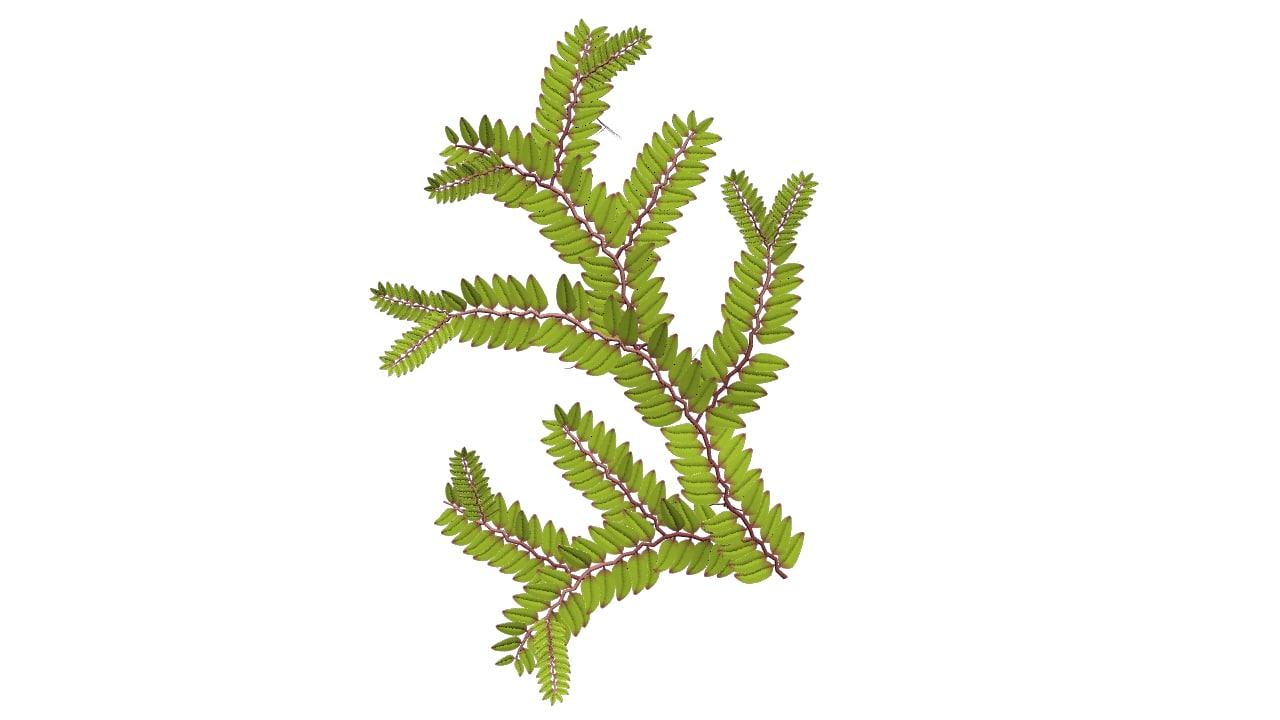 3d selaginella plants spikemosses model