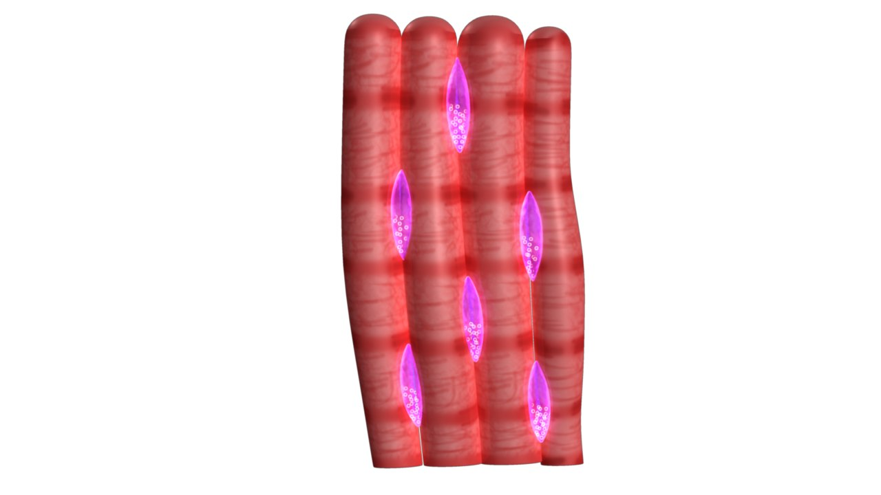 muscle tissue 3d model