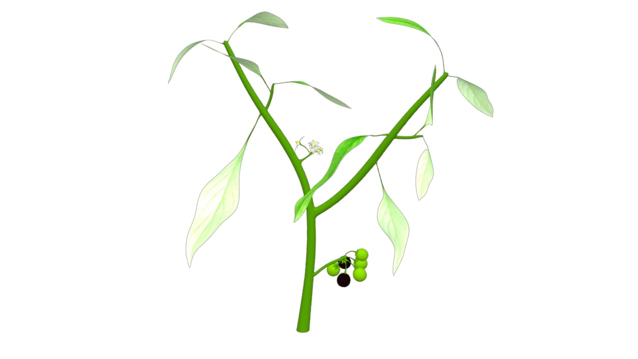 3d model solanum nigrum makoi plant