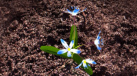 squill plants flowering 3d model