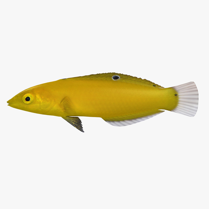 3d canary wrasse