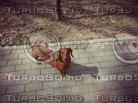 ginger dachshund dog