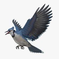Cyanocitta Cristata 'Blue Jay'