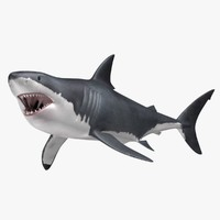 Carcharodon Carcharias 'Great White Shark'