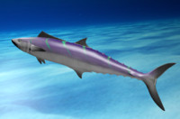 Wahoo - 3D Model of Wahoo Fish with Poses
