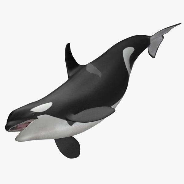 3d orcinus orca killer whale model