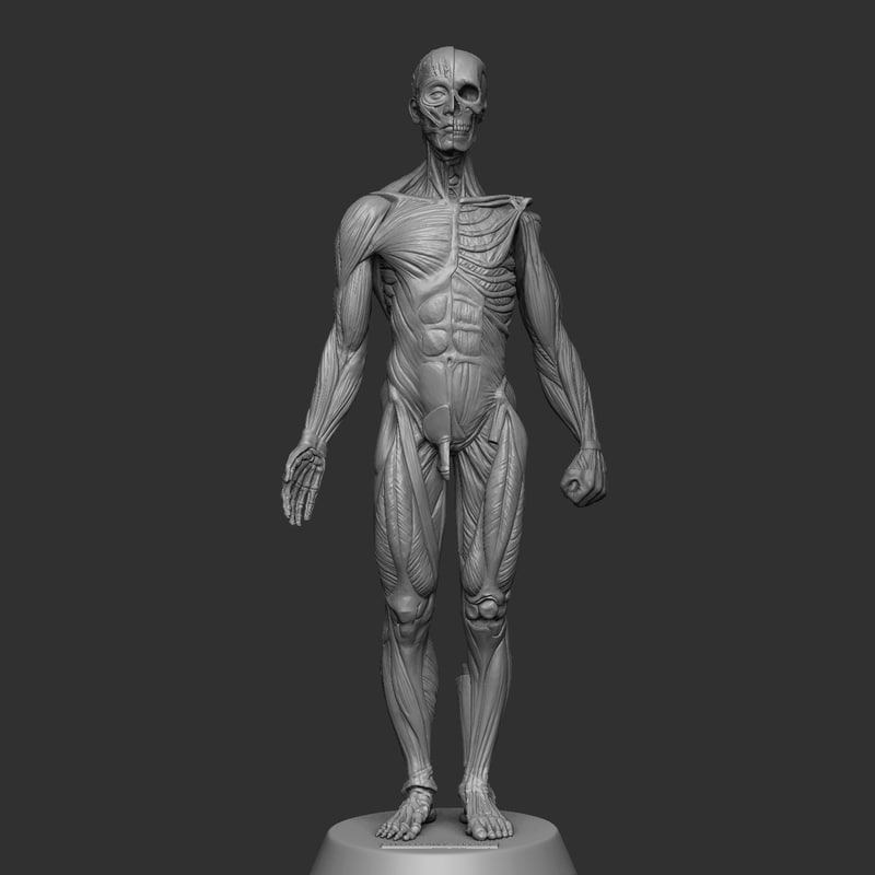 3d anatomy study