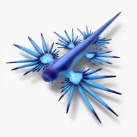 3d model glaucus atlanticus
