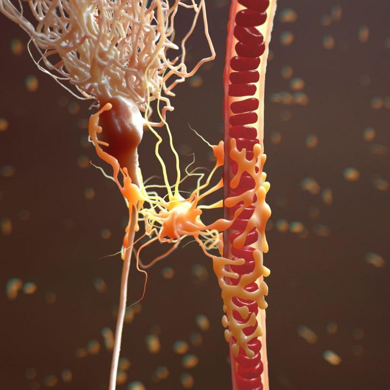 mammalian astrocyte blood vessel 3d c4d