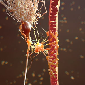 mammalian astrocyte blood vessel 3d c4d