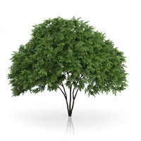 3d model elderberry tree sambucus nigra