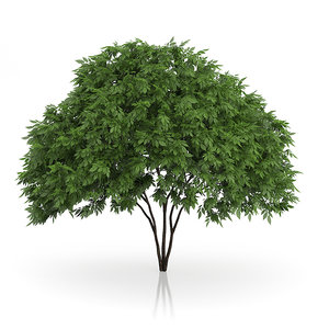 3d model elderberry tree sambucus nigra
