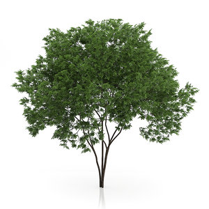 3d elderberry tree sambucus nigra