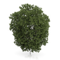 3d hackberry tree prunus padus