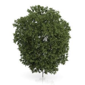 3d hackberry tree prunus padus