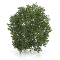 hackberry tree prunus padus max