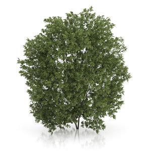 hackberry tree prunus padus max