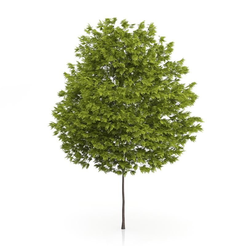 honey locust tree gleditsia 3d max
