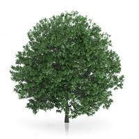 3d common hornbeam carpinus betulus