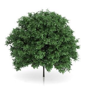 3ds max common hornbeam carpinus betulus