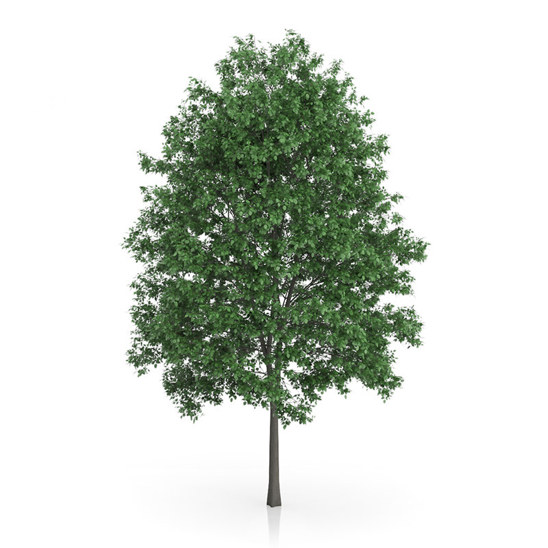 3d common hornbeam carpinus betulus model. Black Bedroom Furniture Sets. Home Design Ideas