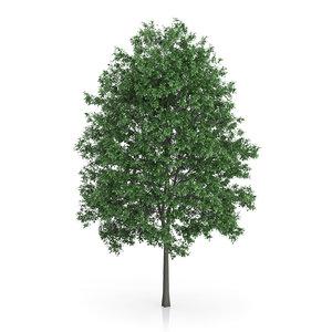 3d common hornbeam carpinus betulus model