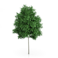 3d rowan tree sorbus aucuparia model
