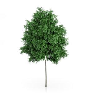 3d rowan tree sorbus aucuparia model
