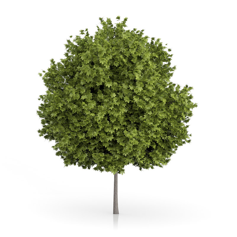 3d norway maple tree acer model