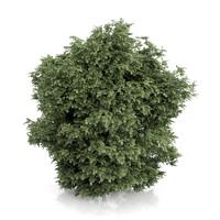 c4d common hazel tree corylus