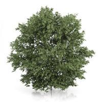 common hazel tree corylus 3d max