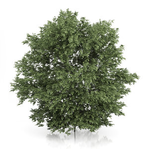 common hazel tree corylus 3d max